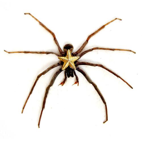étoile d'araigné